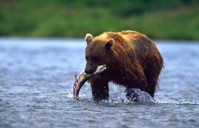 Alaskan Brown Bear (Ursus arctos). McNeil River, Alaska.