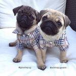 Twinning pugs emergency pugs facebook page