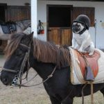 pug riding a horse emergency pugs facebook page