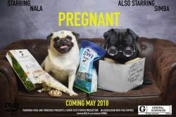 maternity-pug