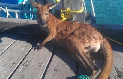 Wallaroo rescued off shore