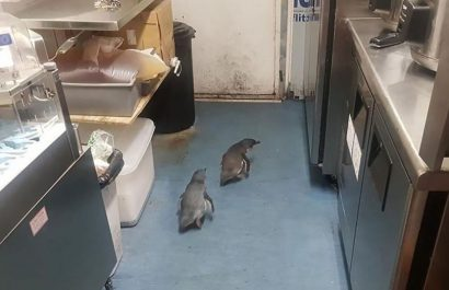 trespassing penguins continue to break rules, apprehended by NZ police