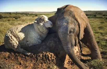 Temba the elephant and his best friend Albert the Sheep, Mel's Furry Tails