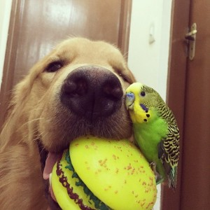 Instagram @bob_goldenretriever 13
