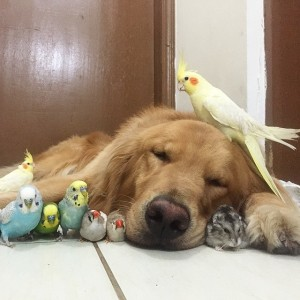 Instagram @bob_goldenretriever 16