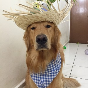 Instagram @bob_goldenretriever 18